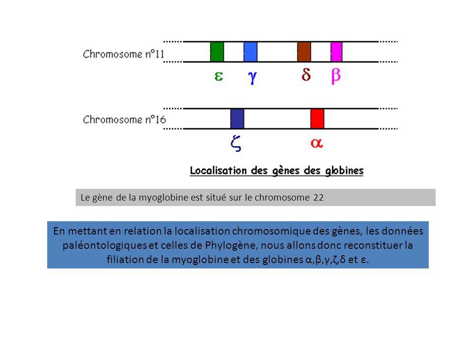 Le gène de la myoglobine est situé sur le chromosome 22