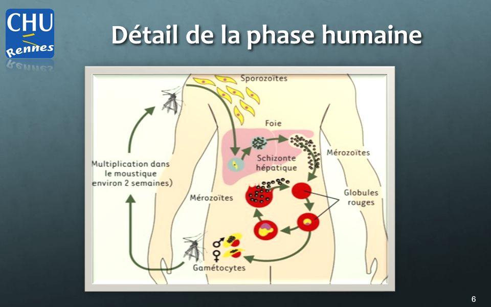 Détail de la phase humaine