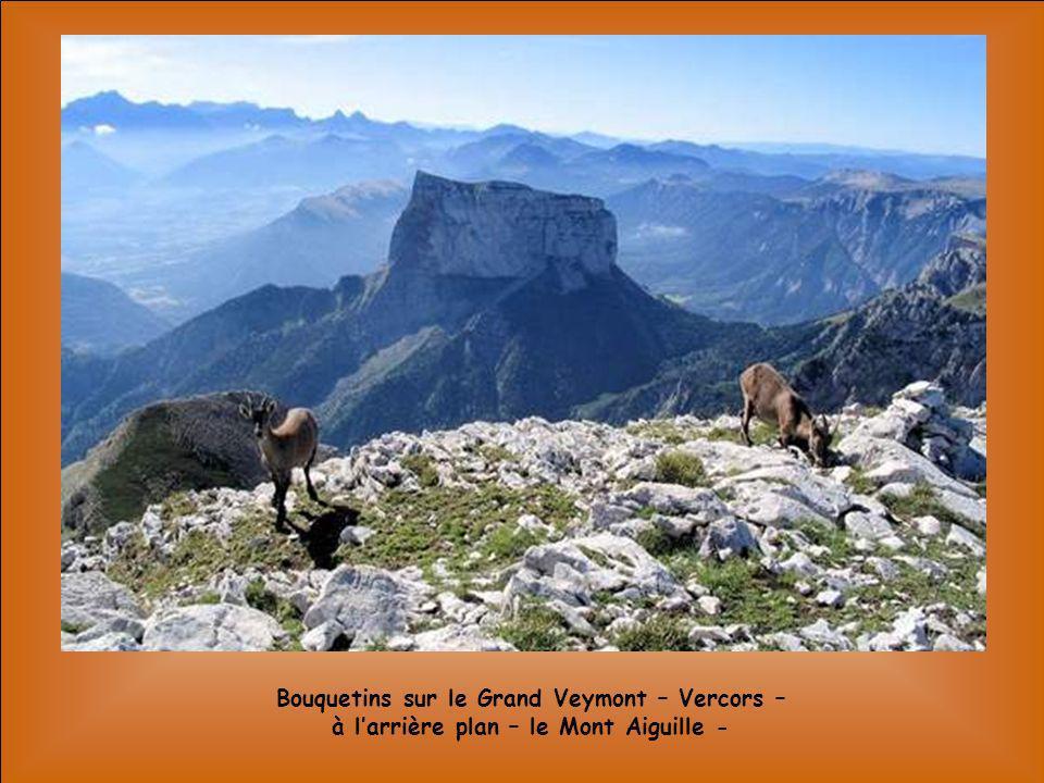 Bouquetins sur le Grand Veymont – Vercors –à l'arrière plan – le Mont Aiguille -