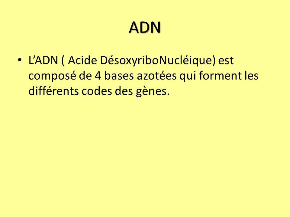 ADN L'ADN ( Acide DésoxyriboNucléique) est composé de 4 bases azotées qui forment les différents codes des gènes.