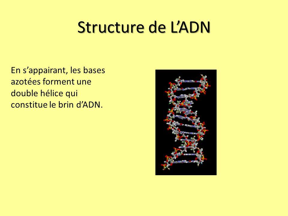Structure de L'ADN En s'appairant, les bases azotées forment une double hélice qui constitue le brin d'ADN.