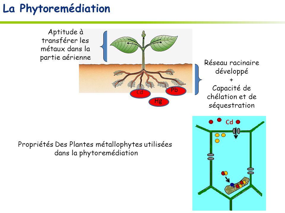 La Phytoremédiation Hg. Pb. Cd. Réseau racinaire développé. + Capacité de chélation et de séquestration.