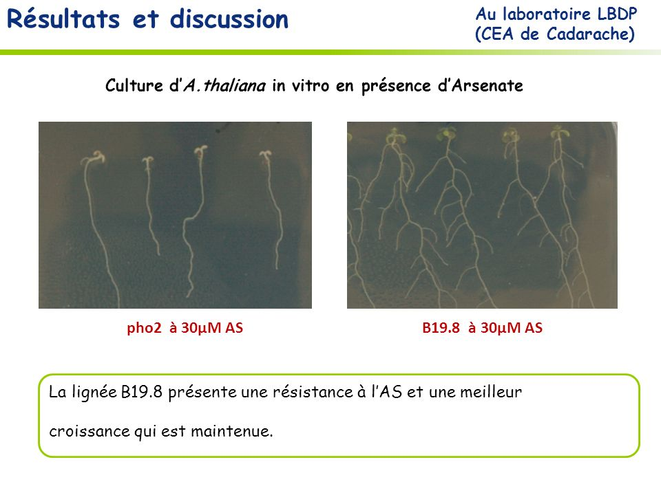 Culture d'A.thaliana in vitro en présence d'Arsenate