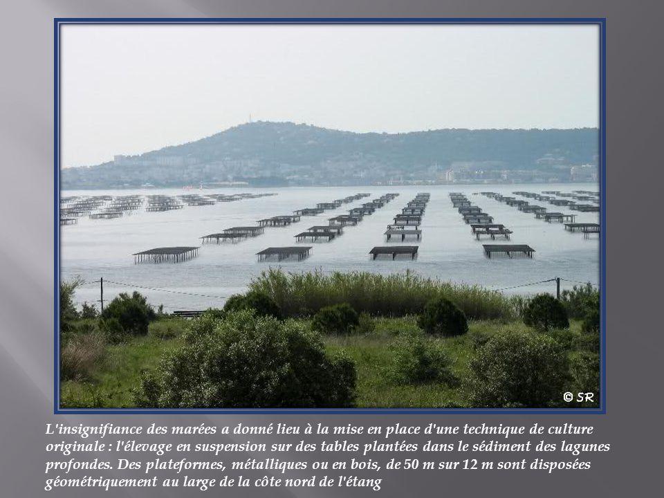 L insignifiance des marées a donné lieu à la mise en place d une technique de culture originale : l élevage en suspension sur des tables plantées dans le sédiment des lagunes profondes. Des plateformes, métalliques ou en bois, de 50 m sur 12 m sont disposées géométriquement au large de la côte nord de l étang