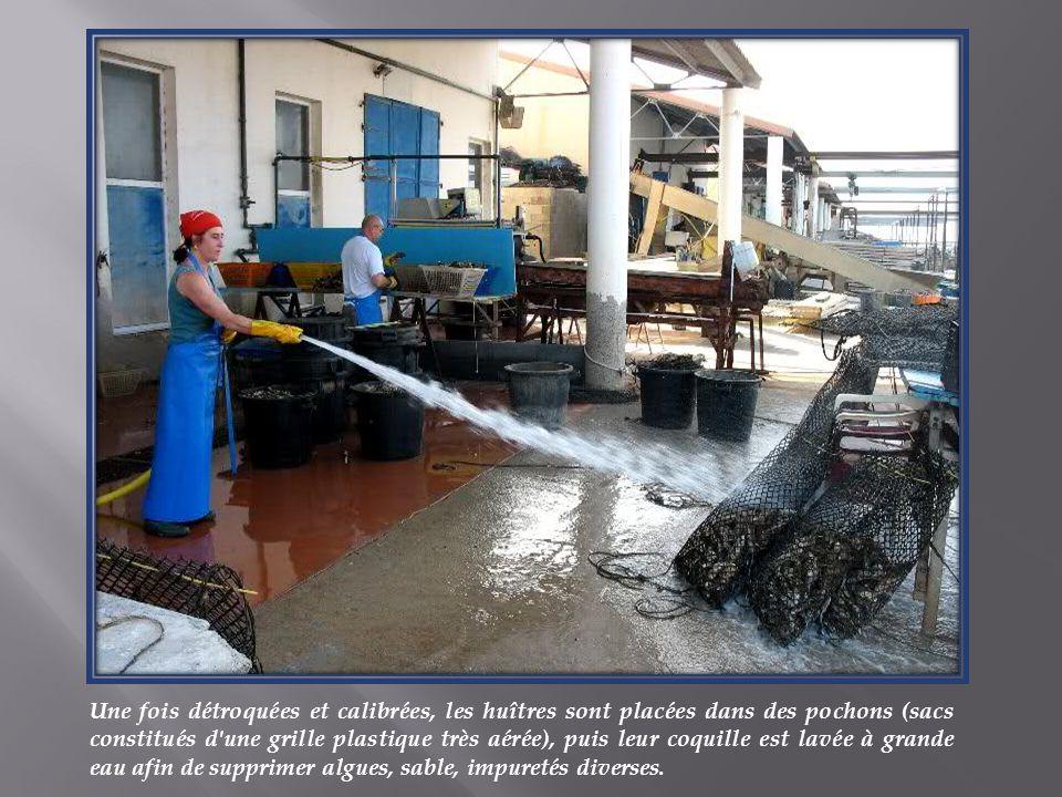 Une fois détroquées et calibrées, les huîtres sont placées dans des pochons (sacs constitués d une grille plastique très aérée), puis leur coquille est lavée à grande eau afin de supprimer algues, sable, impuretés diverses.
