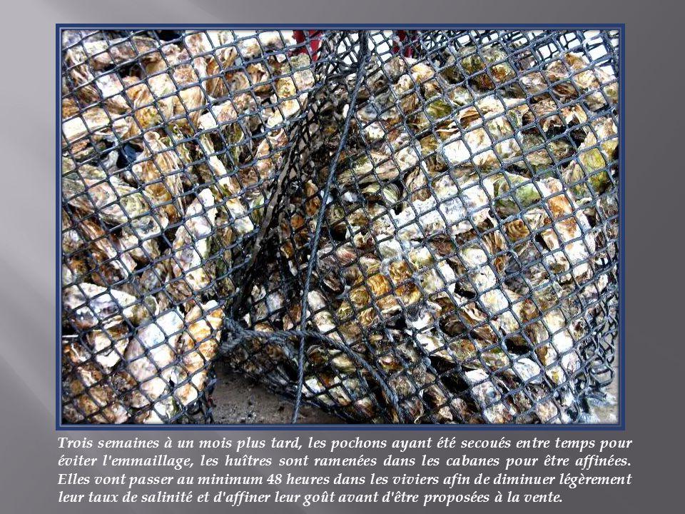 Trois semaines à un mois plus tard, les pochons ayant été secoués entre temps pour éviter l emmaillage, les huîtres sont ramenées dans les cabanes pour être affinées.