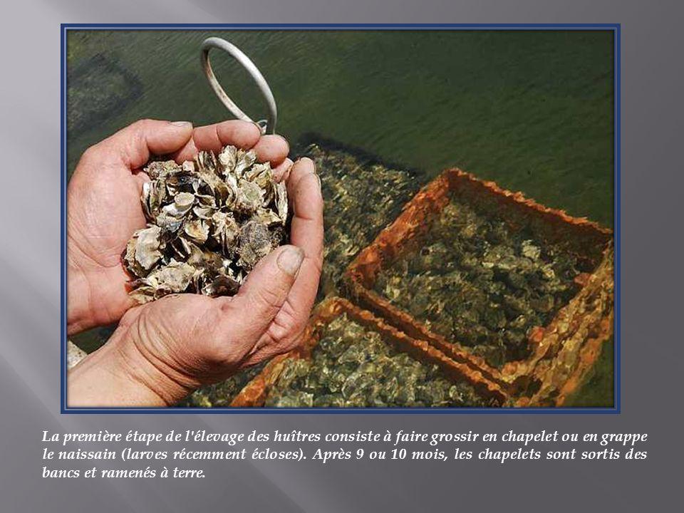La première étape de l élevage des huîtres consiste à faire grossir en chapelet ou en grappe le naissain (larves récemment écloses).
