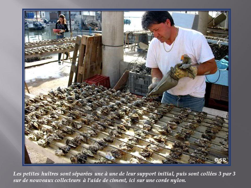 Les petites huîtres sont séparées une à une de leur support initial, puis sont collées 3 par 3 sur de nouveaux collecteurs à l aide de ciment, ici sur une corde nylon.