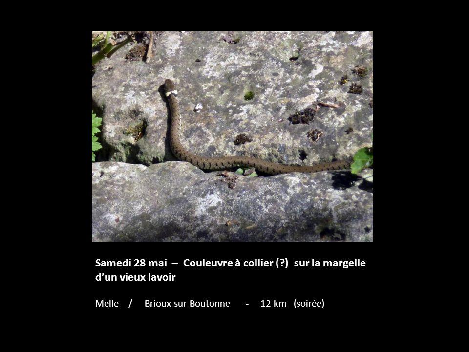 Samedi 28 mai – Couleuvre à collier (