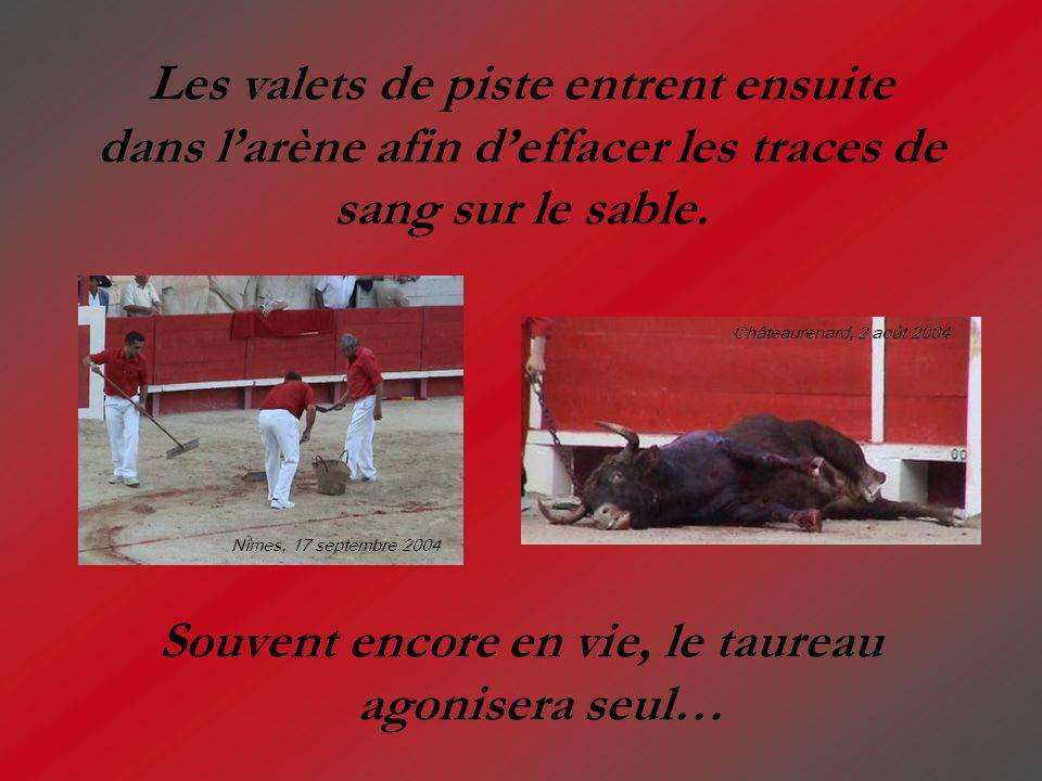 Souvent encore en vie, le taureau agonisera seul…