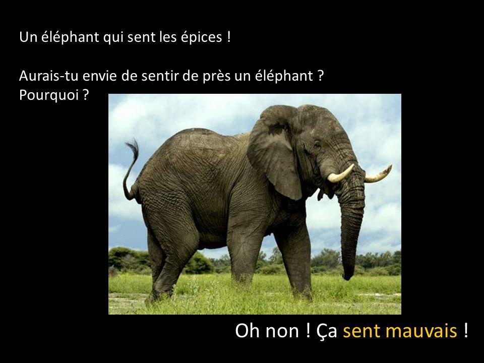 Oh non ! Ça sent mauvais ! Un éléphant qui sent les épices !