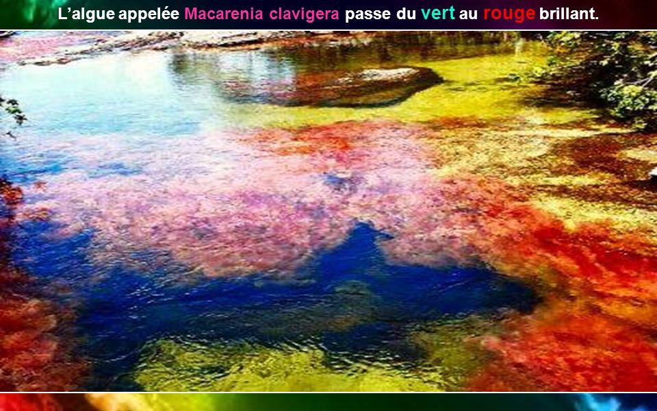 L'algue appelée Macarenia clavigera passe du vert au rouge brillant.