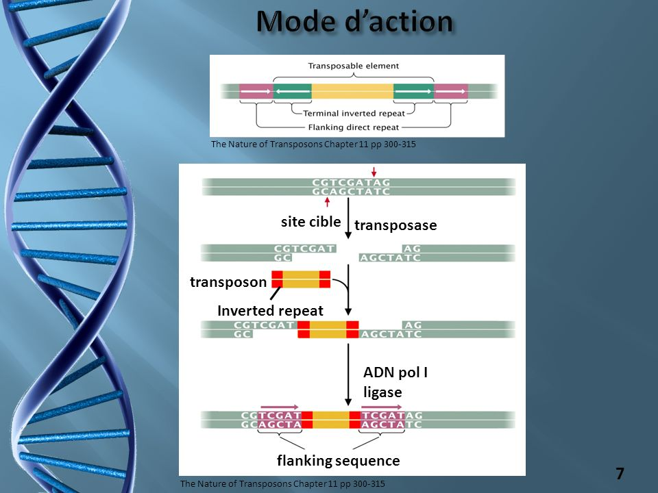 Mode d'action site cible transposase transposon Inverted repeat