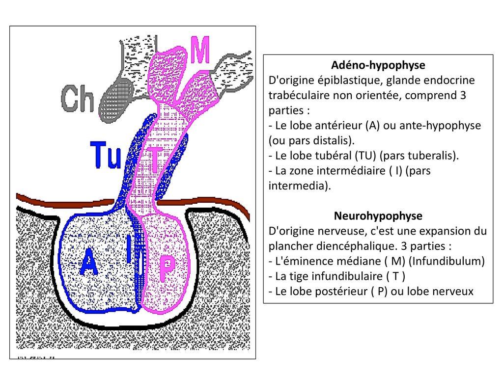 Erfreut Anatomie Und Physiologie Der Hypophyse Ppt Zeitgenössisch ...
