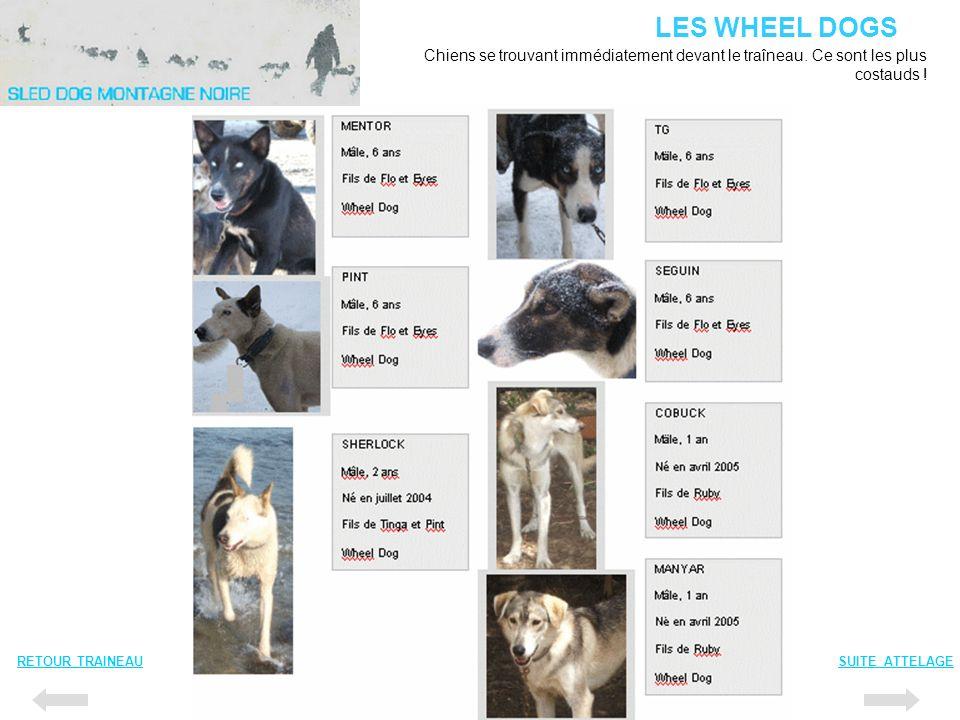 LES WHEEL DOGS Chiens se trouvant immédiatement devant le traîneau. Ce sont les plus costauds ! RETOUR TRAINEAU.