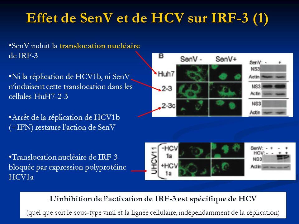 Effet de SenV et de HCV sur IRF-3 (1)