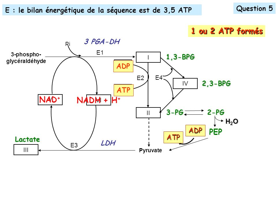 1 ou 2 ATP formés NAD+ NADH + H+ PEP