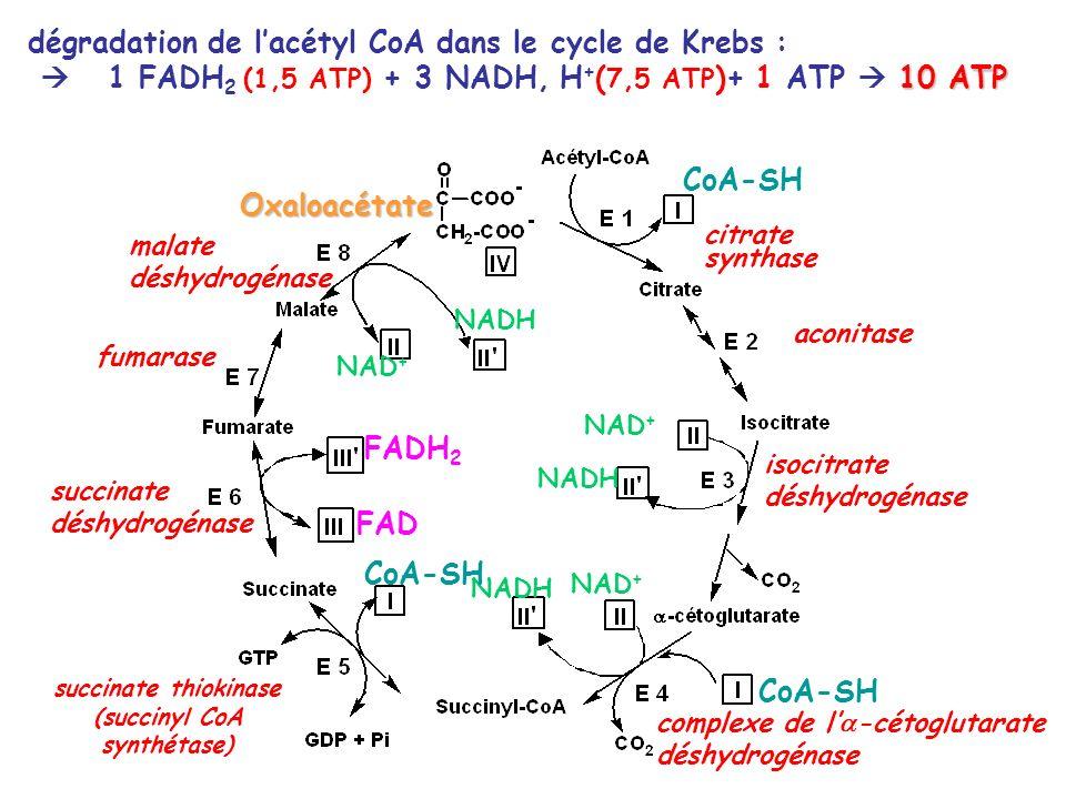 (succinyl CoA synthétase)
