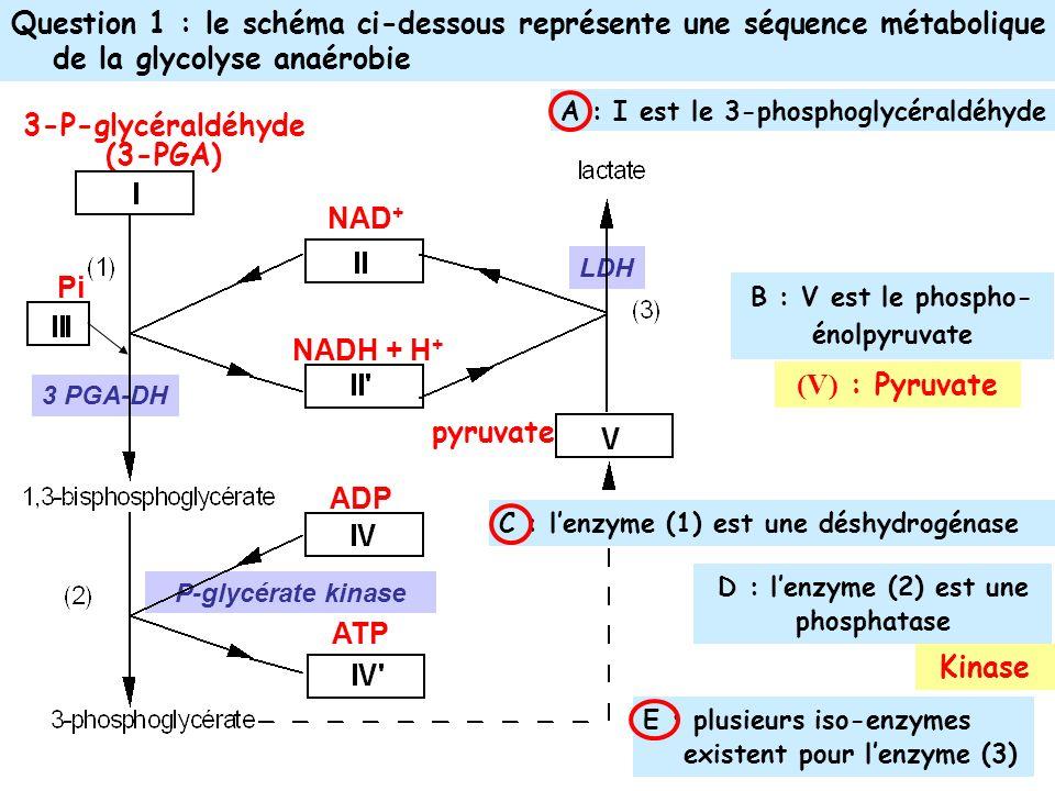 B : V est le phospho-énolpyruvate D : l'enzyme (2) est une phosphatase