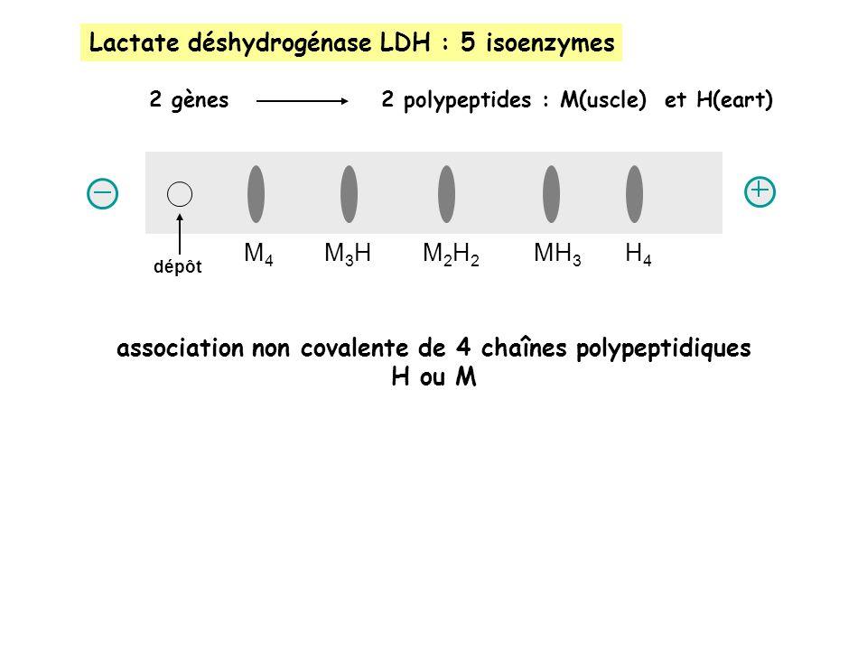association non covalente de 4 chaînes polypeptidiques H ou M