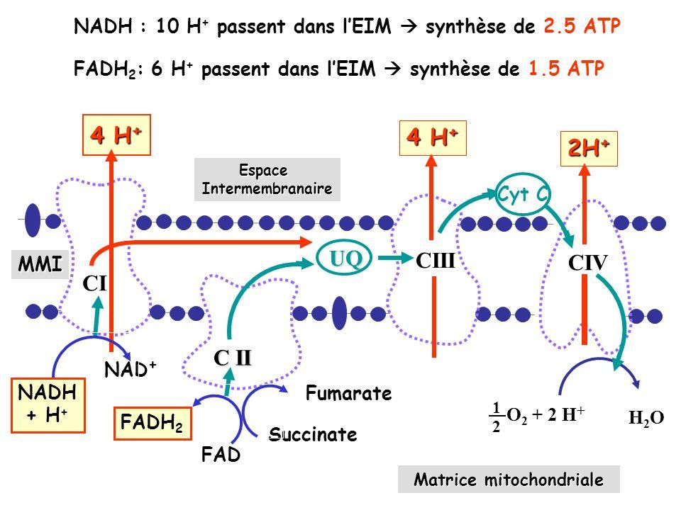 Matrice mitochondriale