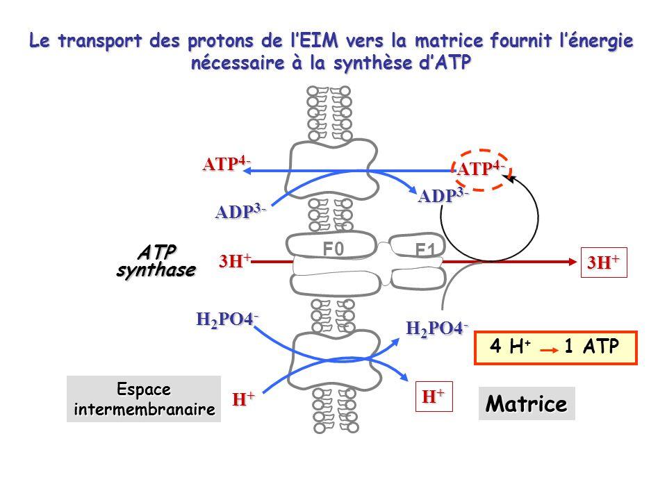 Le transport des protons de l'EIM vers la matrice fournit l'énergie nécessaire à la synthèse d'ATP