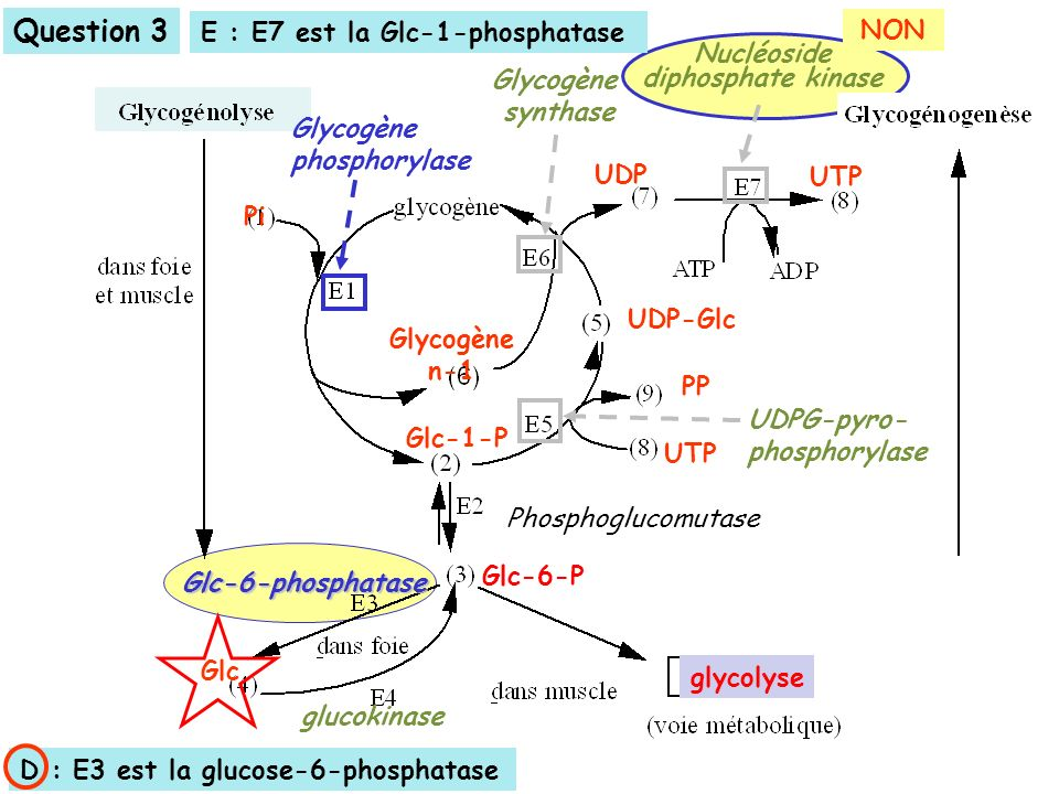 Question 3 E : E7 est la Glc-1-phosphatase NON Nucléoside