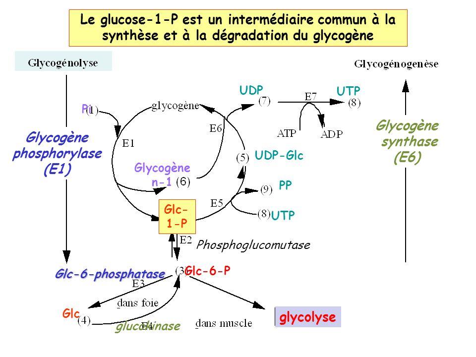 Le glucose-1-P est un intermédiaire commun à la synthèse et à la dégradation du glycogène