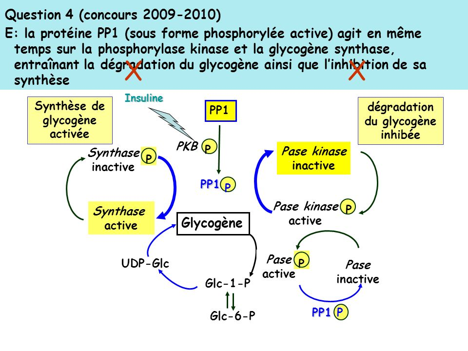 dégradation du glycogène