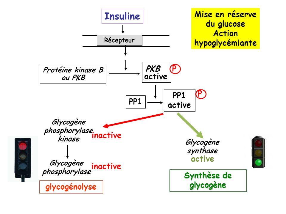 Insuline Mise en réserve du glucose Action hypoglycémiante PKB P