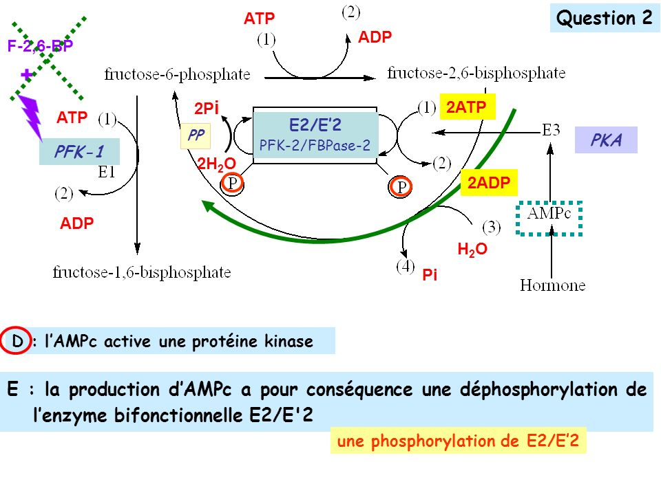ATP Question 2. F-2,6-BP. + ADP. 2H2O. 2Pi. PP. 2ADP. 2ATP. ATP. E2/E'2. PFK-2/FBPase-2.