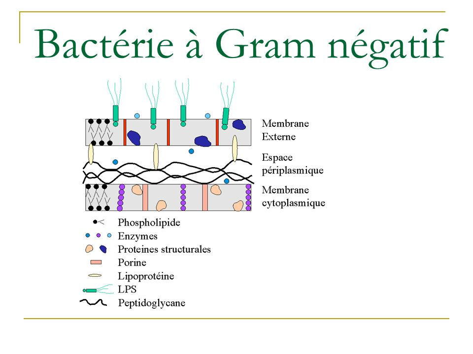Bactérie à Gram négatif