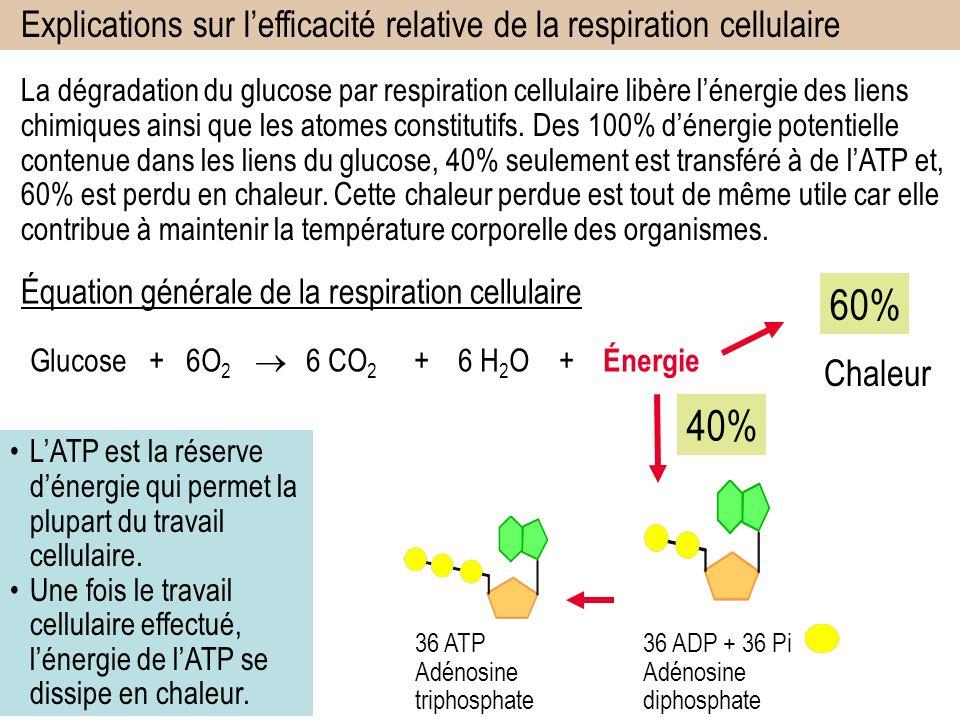 Explications sur l'efficacité relative de la respiration cellulaire