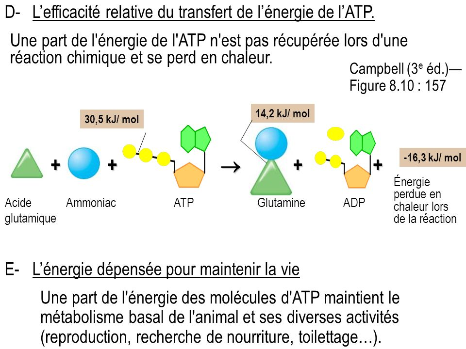 + +  + + D- L'efficacité relative du transfert de l'énergie de l'ATP.