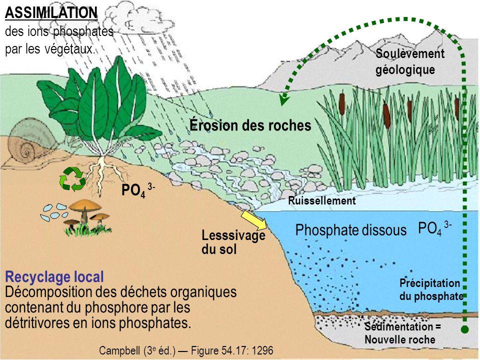 ASSIMILATION Érosion des roches PO4 3- PO4 3- Phosphate dissous