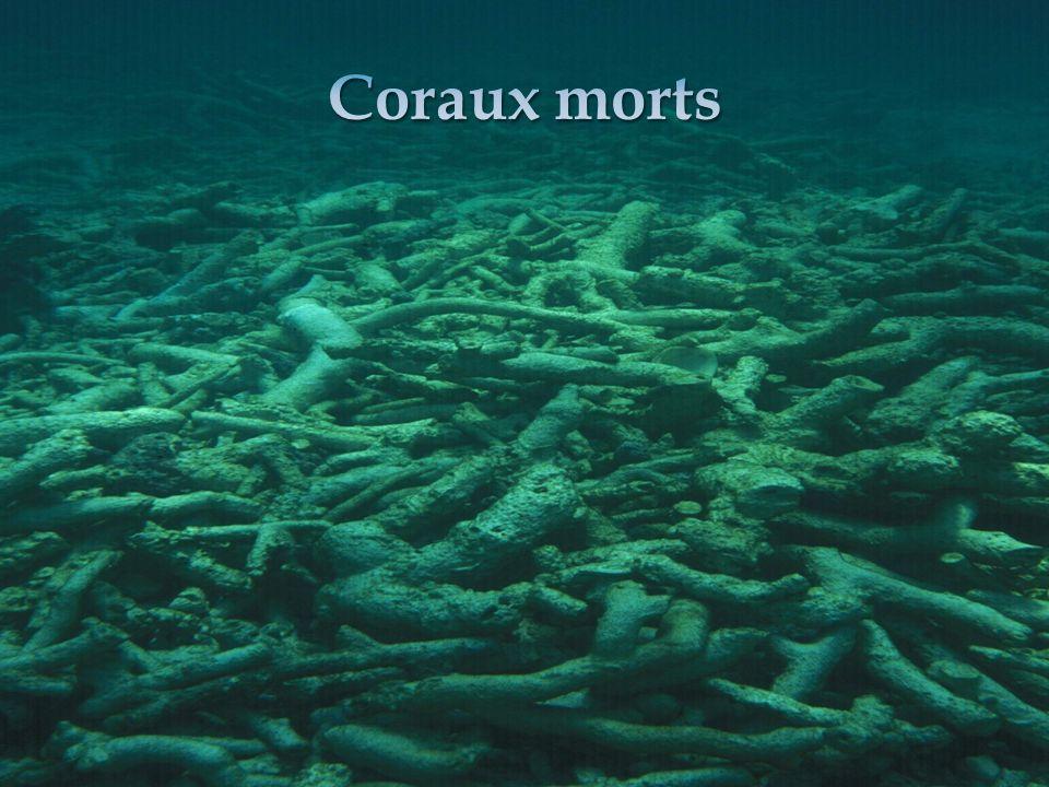 Coraux morts