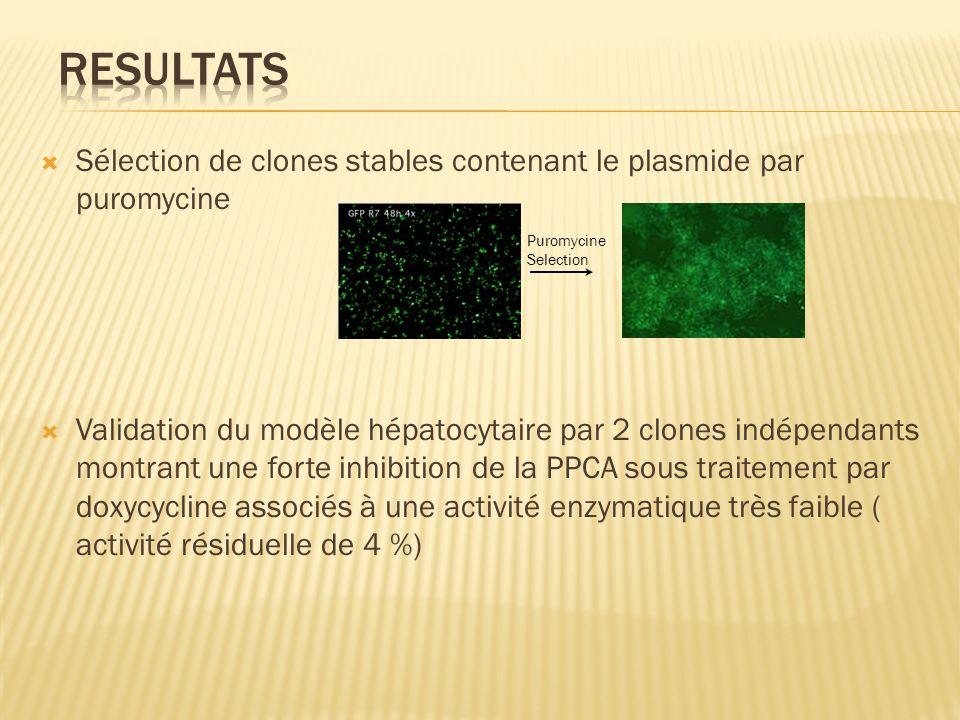 resultats Sélection de clones stables contenant le plasmide par puromycine.