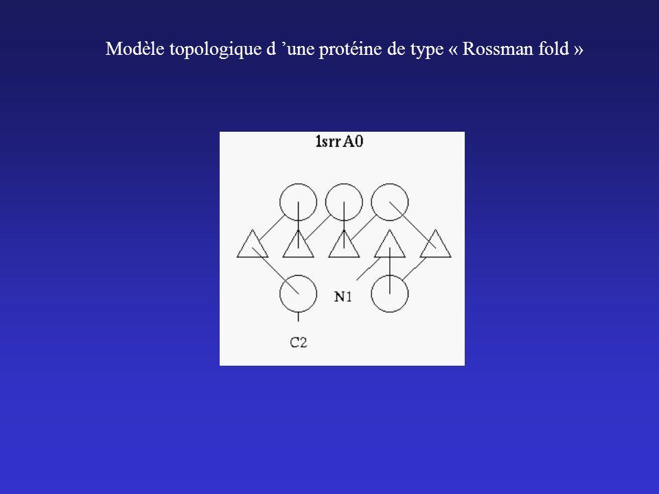 Modèle topologique d 'une protéine de type « Rossman fold »