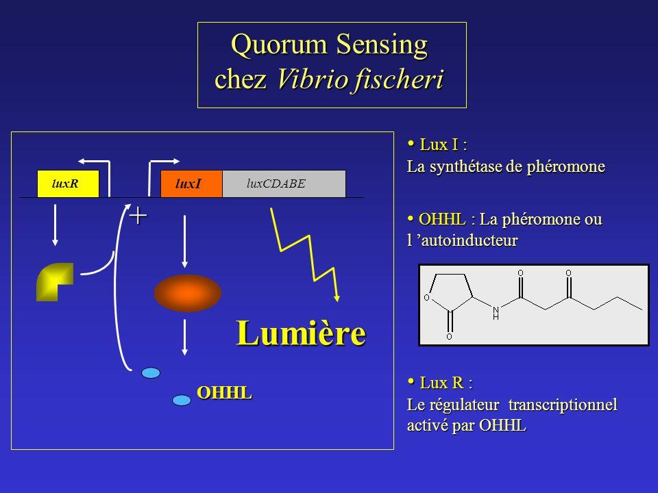 Lumière + Quorum Sensing chez Vibrio fischeri Lux I : Lux R :