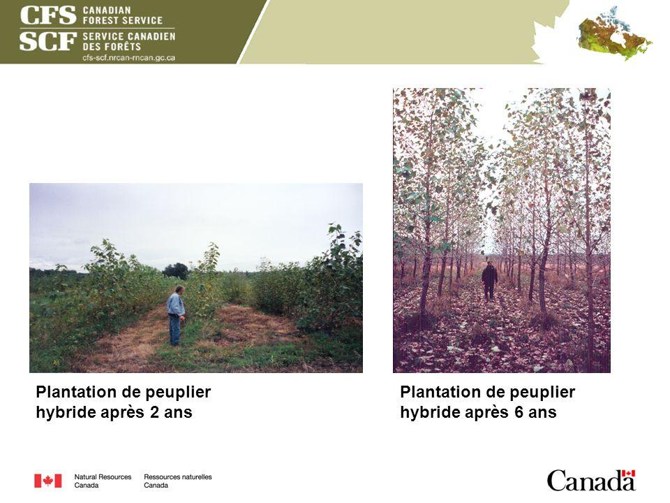 Plantation de peuplier hybride après 2 ans