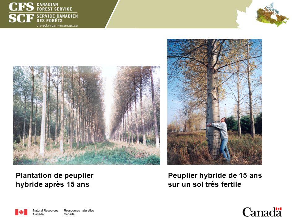 Plantation de peuplier hybride après 15 ans