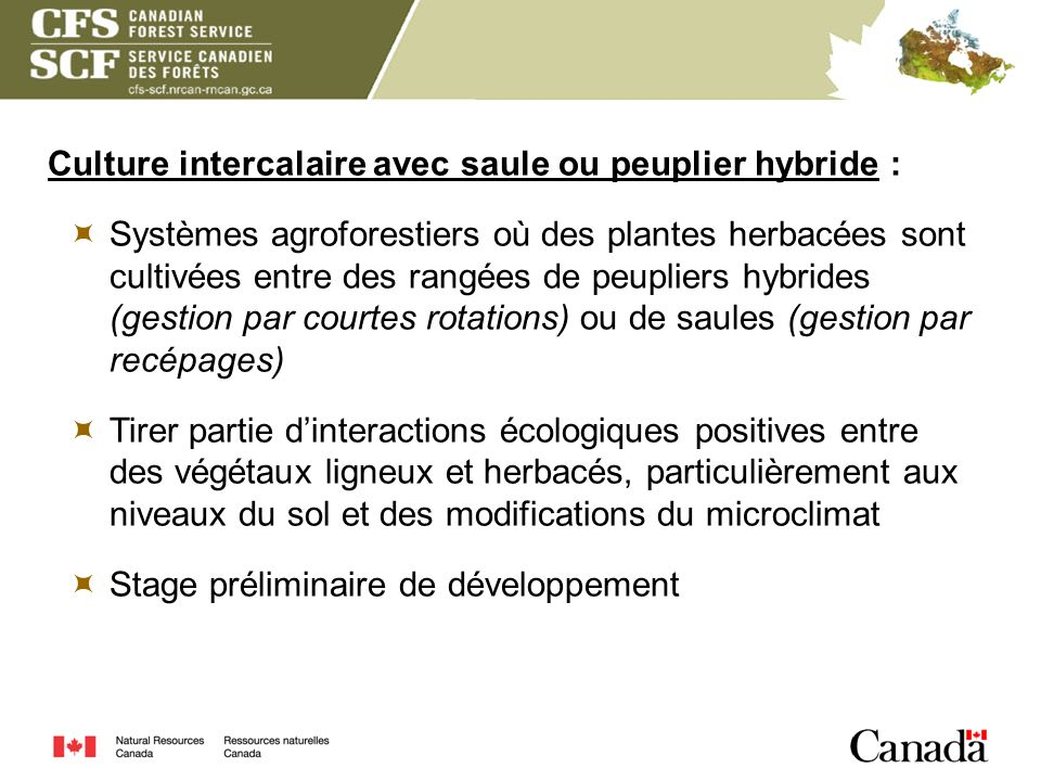Culture intercalaire avec saule ou peuplier hybride :
