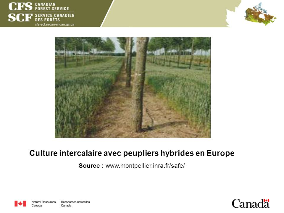 Culture intercalaire avec peupliers hybrides en Europe