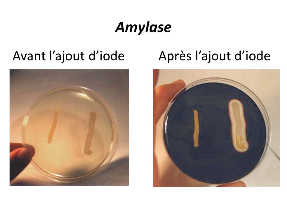 Amylase Avant l'ajout d'iode Après l'ajout d'iode