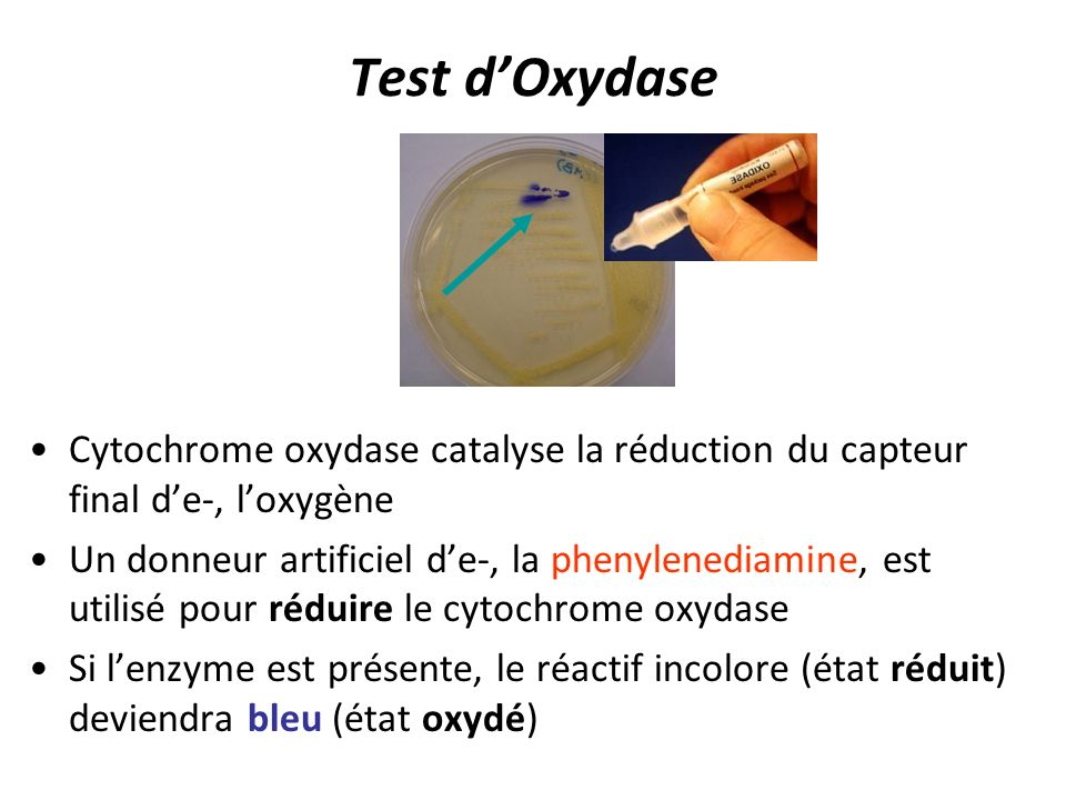 Test d'Oxydase Cytochrome oxydase catalyse la réduction du capteur final d'e-, l'oxygène.