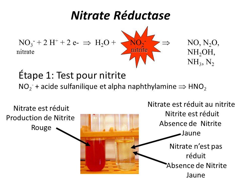 Nitrate Réductase Étape 1: Test pour nitrite