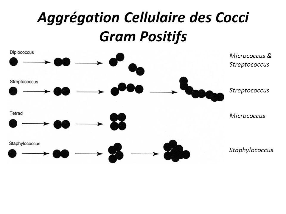 Aggrégation Cellulaire des Cocci Gram Positifs