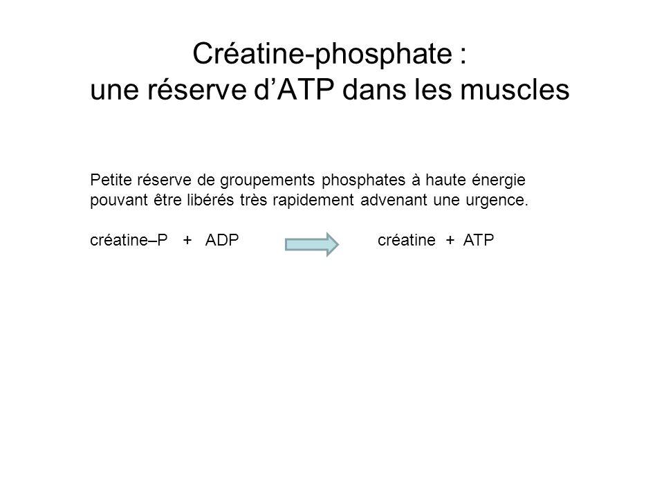 Créatine-phosphate : une réserve d'ATP dans les muscles