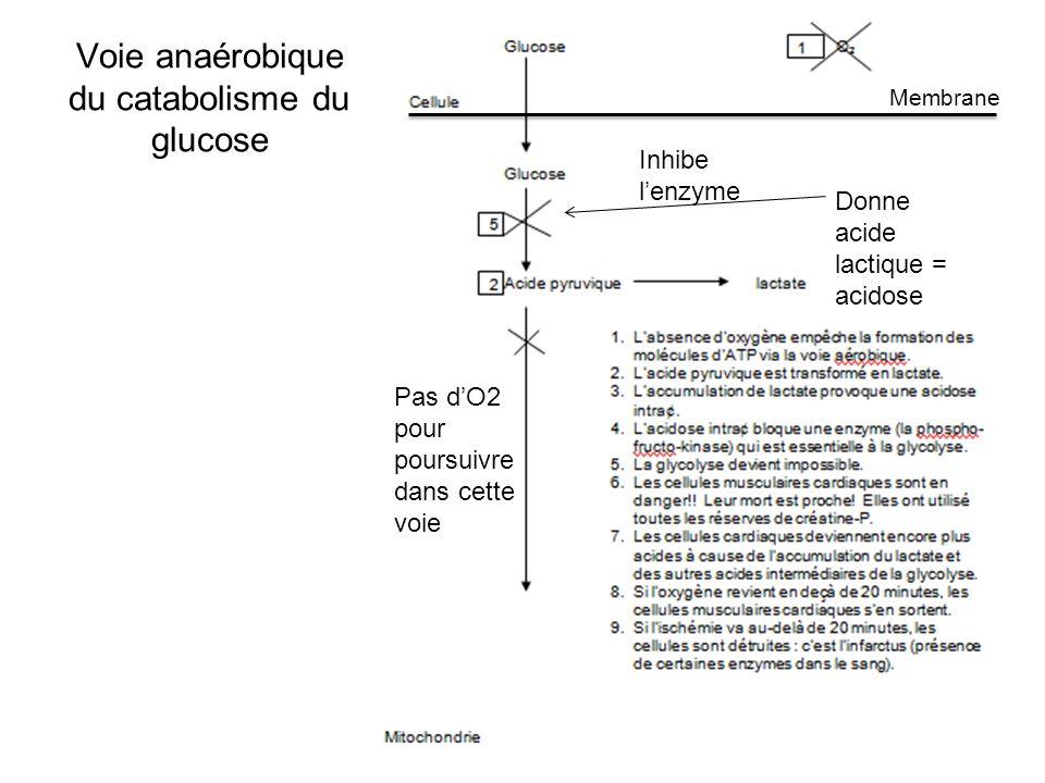 Voie anaérobique du catabolisme du glucose