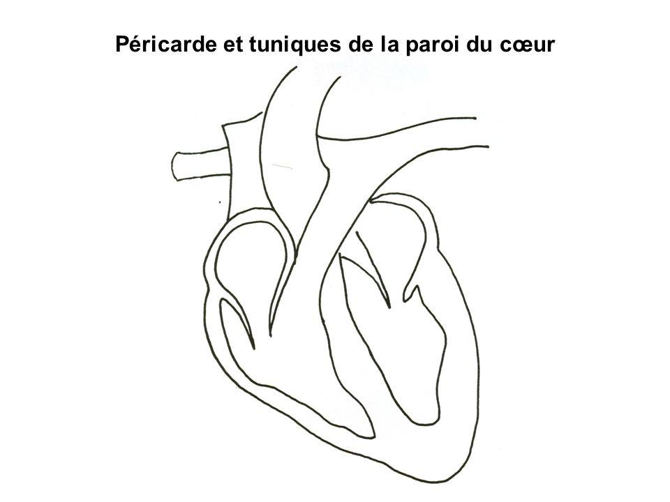 Péricarde et tuniques de la paroi du cœur